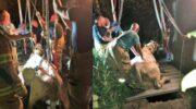 Koe valt in gierput op Nijkerkse Bontepoort